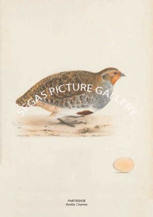 PARTRIDGE - Perdia Cinerea